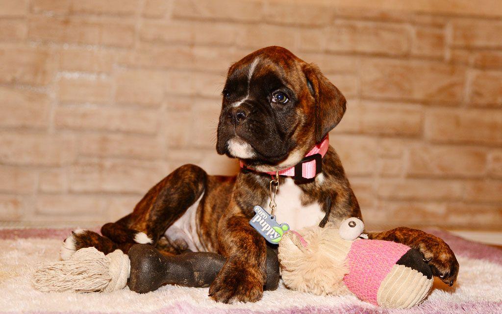 boxer brindle puppy image