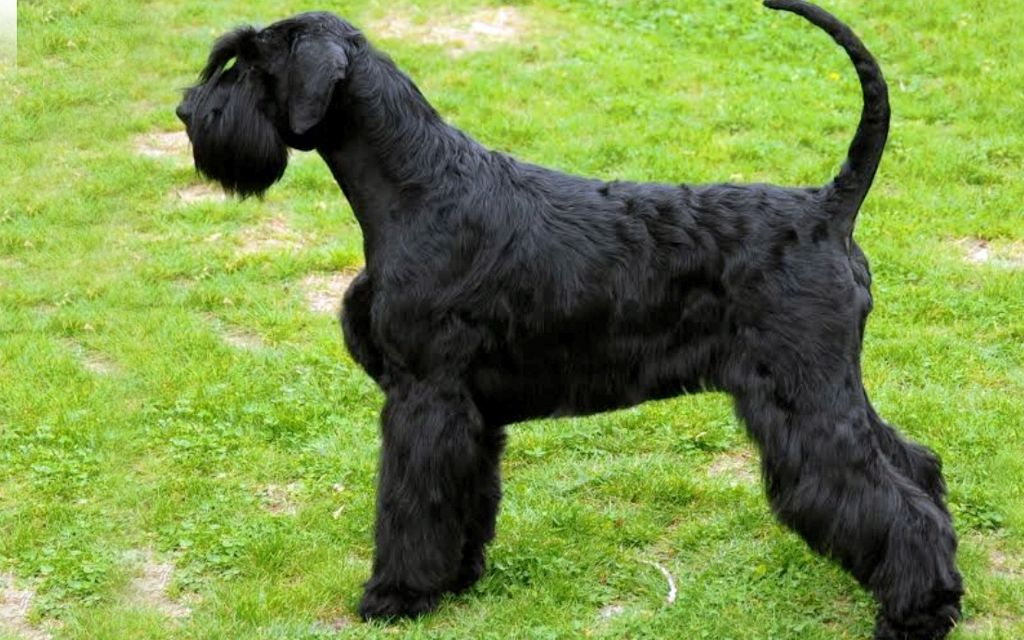 giant schnauzer puppies breed information puppies for sale