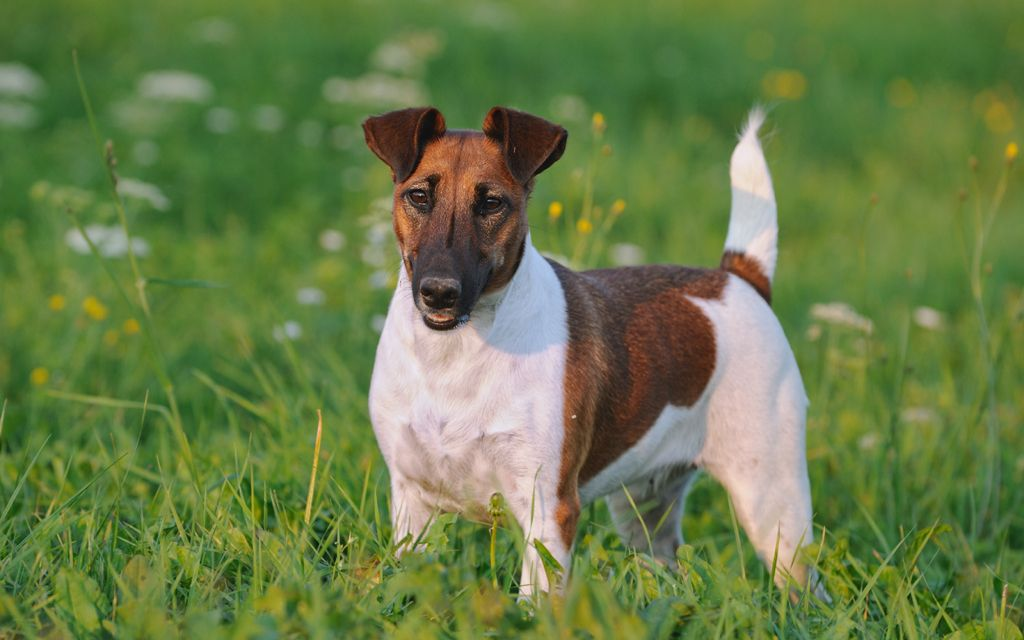 fox terrier ginger image