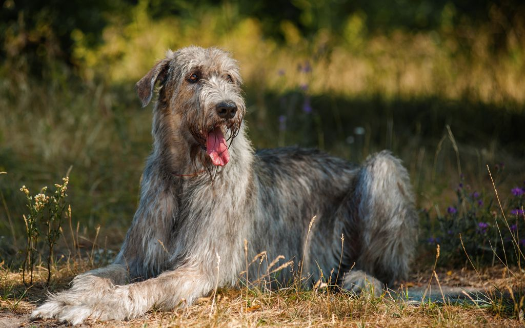 irish wolfhound gray image