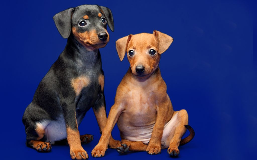 miniature pinscher black&tan fawn image