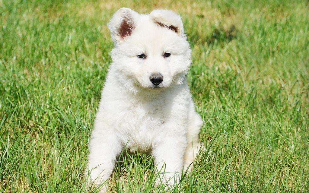 white swiss shepherd puppy image