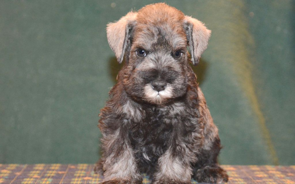 miniature schnauzer salt and pepper puppy image