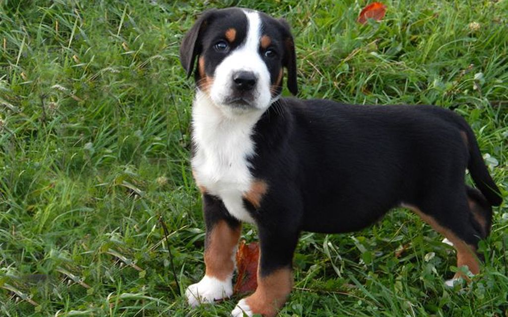 Great Swiss Mountain Dog Puppies Breed information ...