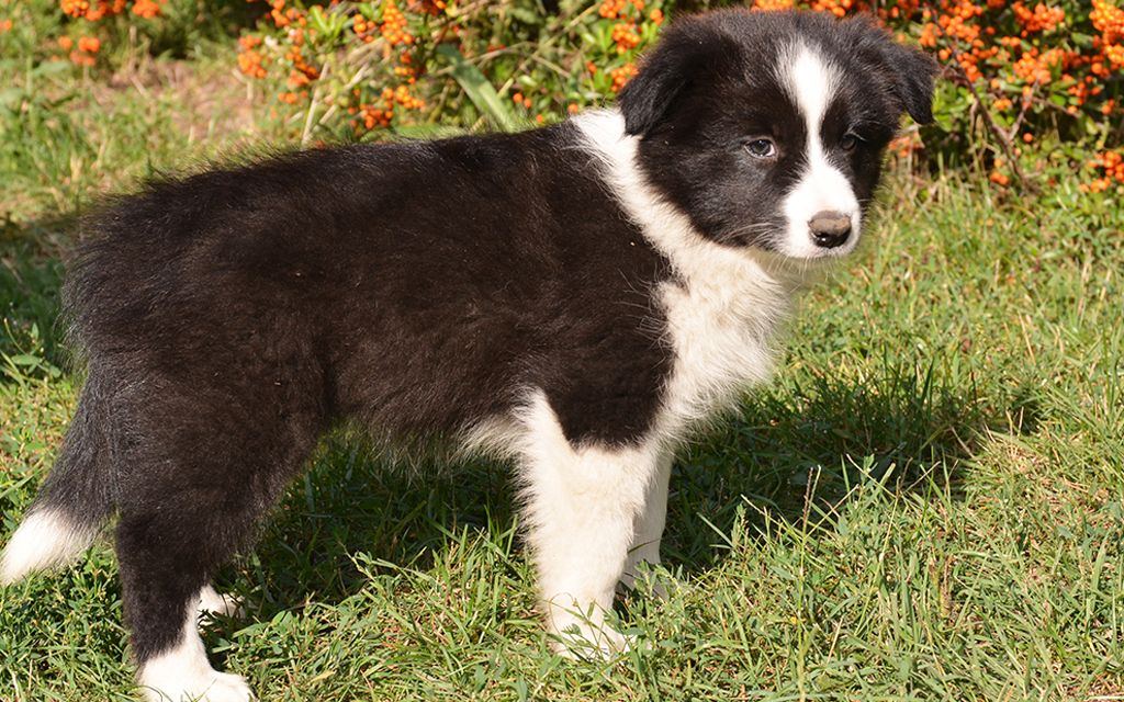 border collie black puppy picture