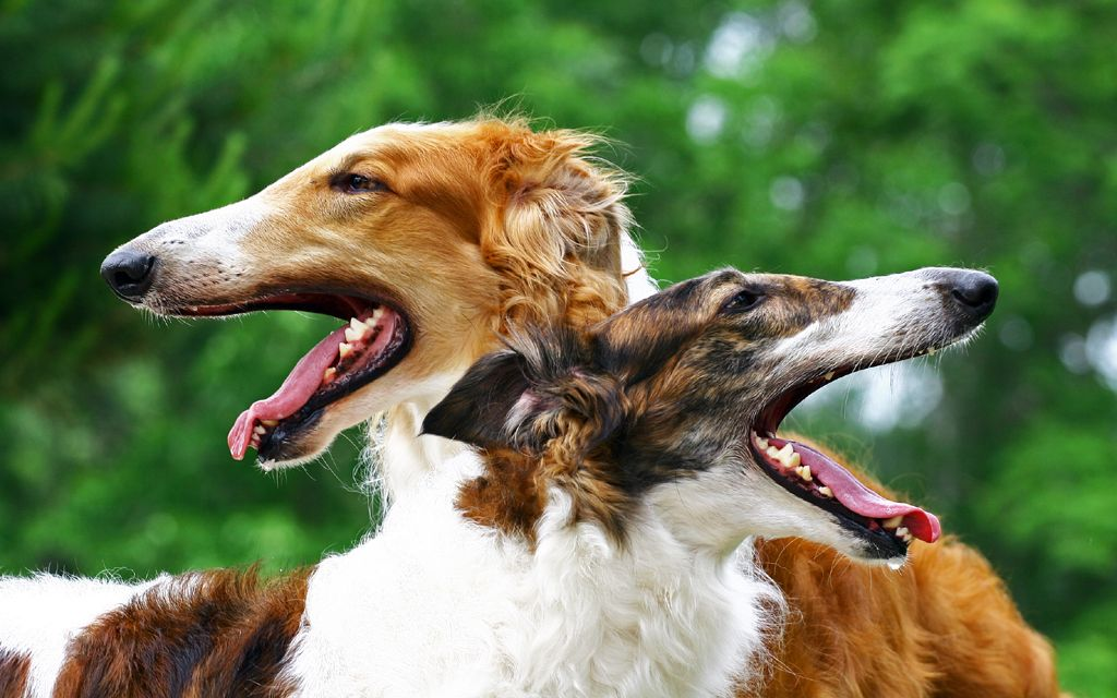 borzoi sable red picture