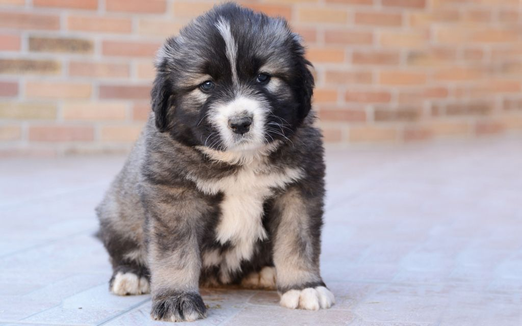 caucasian mountain dog gray puppy picture