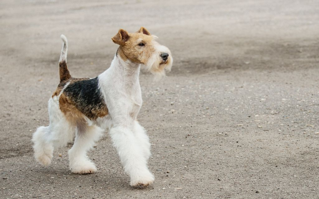 fox terrier tri-color picture