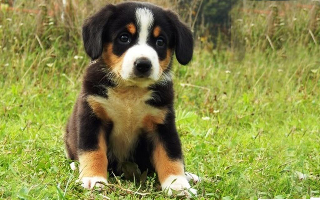 entlebucher black&tan puppy picture