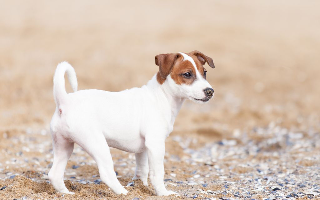 jack russel picture