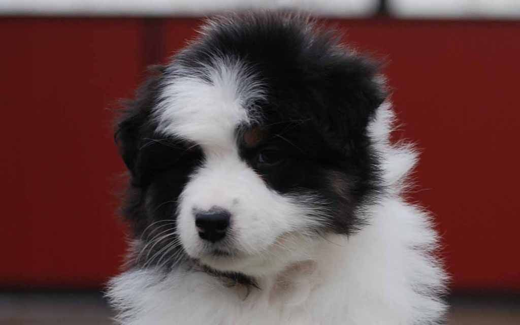 australian shepherd black puppy