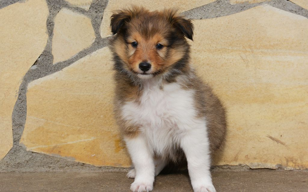 shetland sheepdog tri-color puppy picture