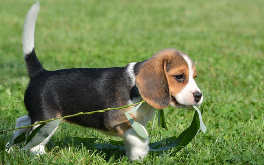 beagle classic tri image