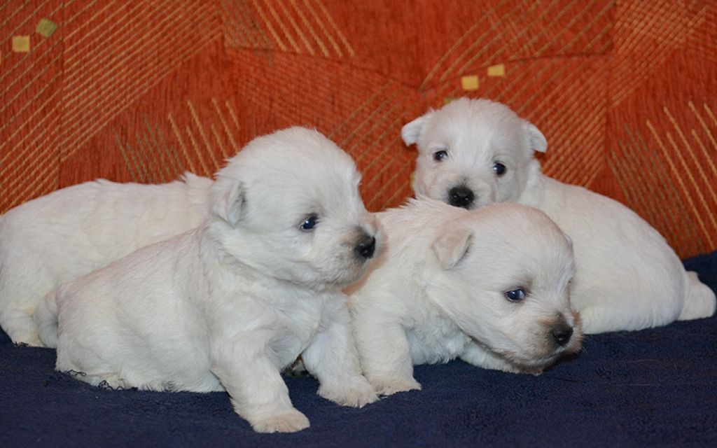 west highland terrier puppies picture