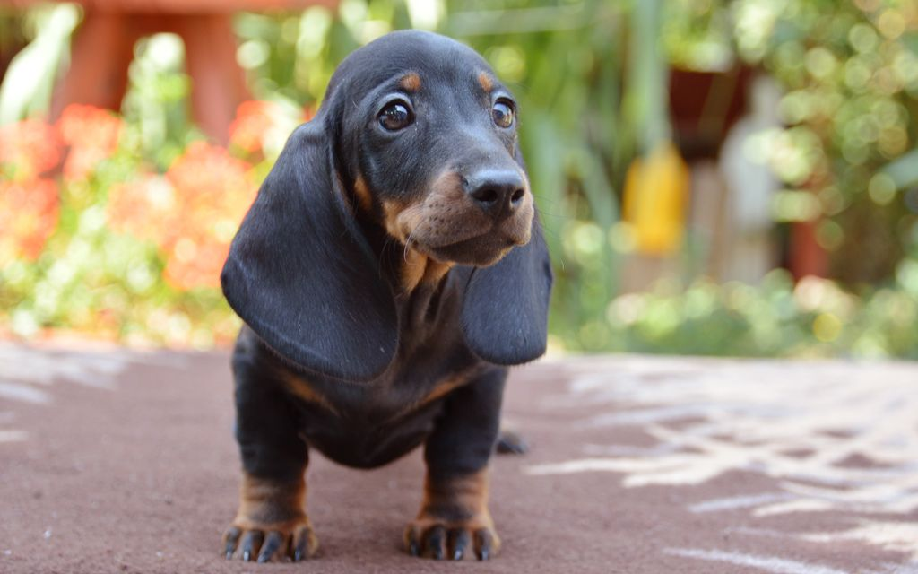 dachshund black & tan puppy picture