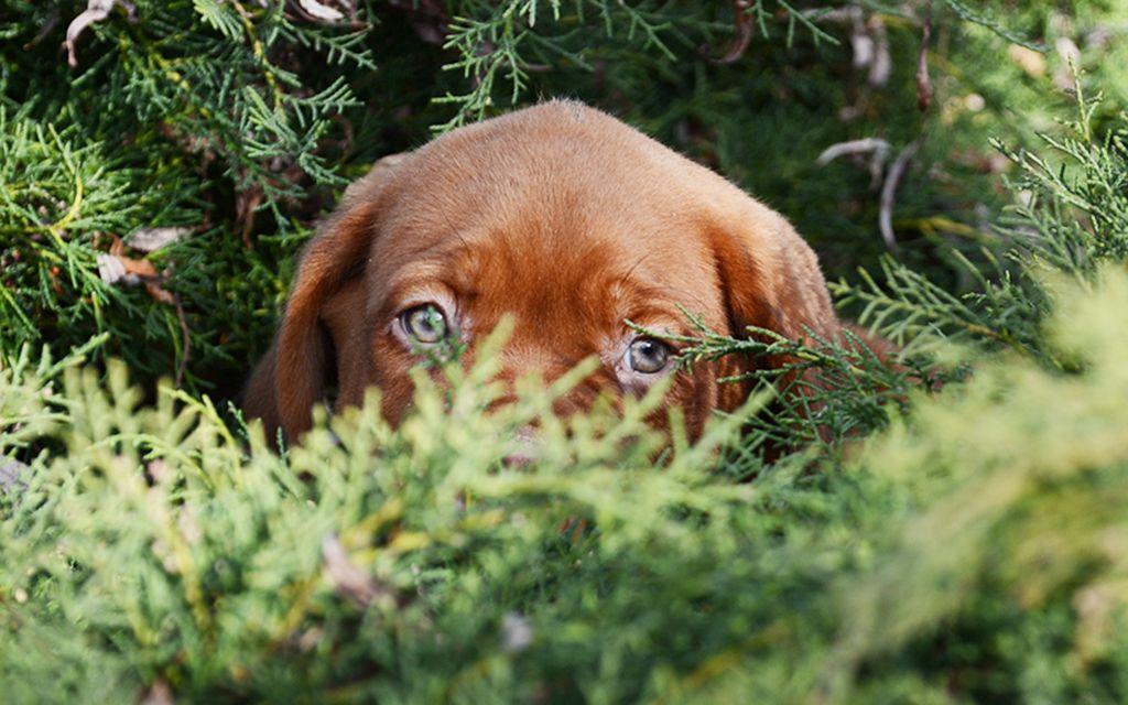french mastiff puppy picture