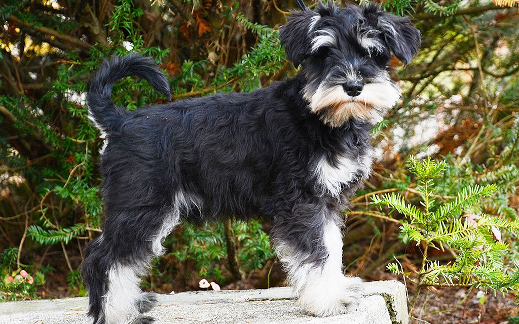 miniature schnauzer black and silver picture