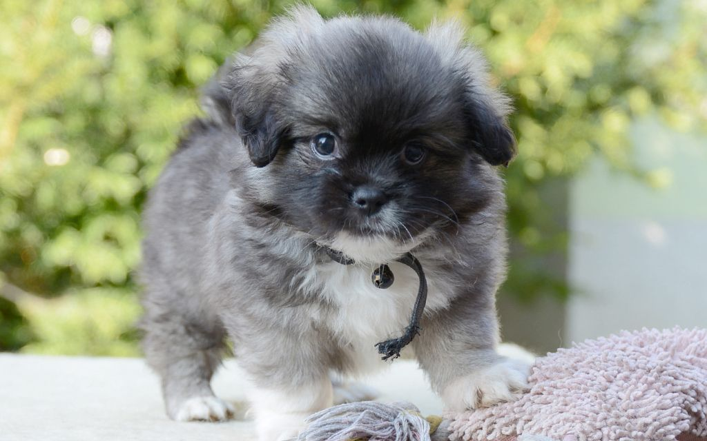 tibetan spaniel sable puppy picture